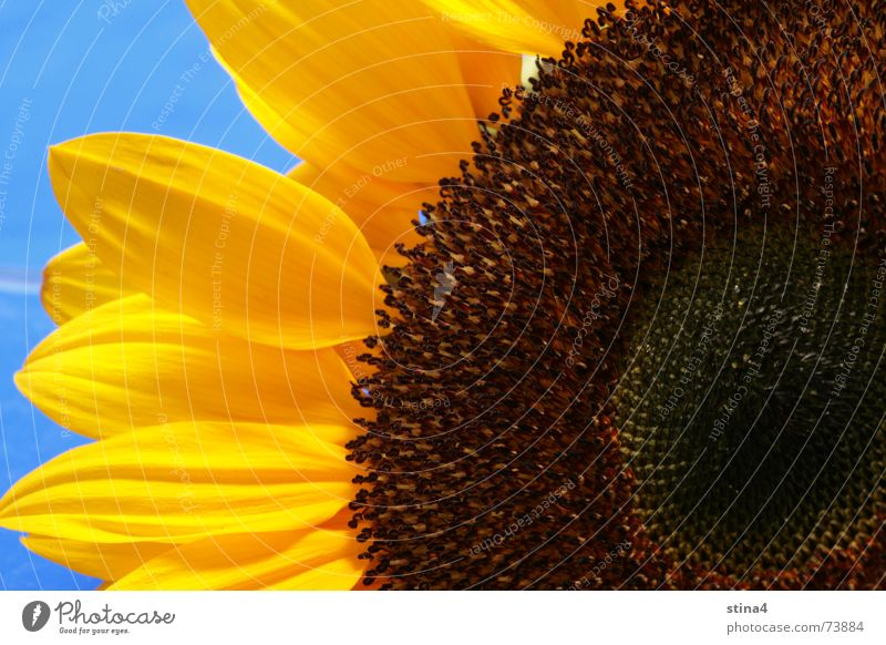 sunflower Summer Sunflower Yellow Flower Blue