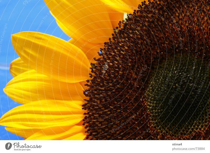 sunflower Summer Sunflower Yellow Flower Blue