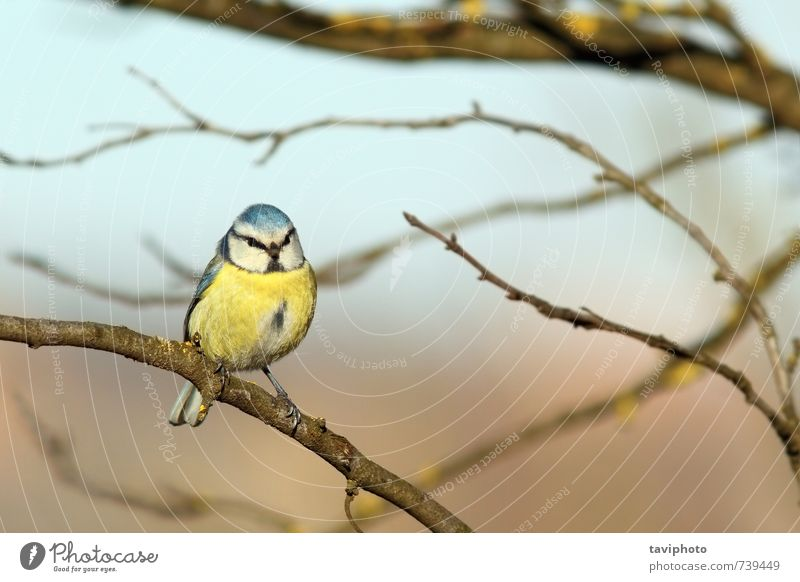 blue tit standing on branch Beautiful Winter Snow Nature Animal Park Bird Freeze Small Wild Blue Yellow White Appetite Colour parus caeruleus Frost cold
