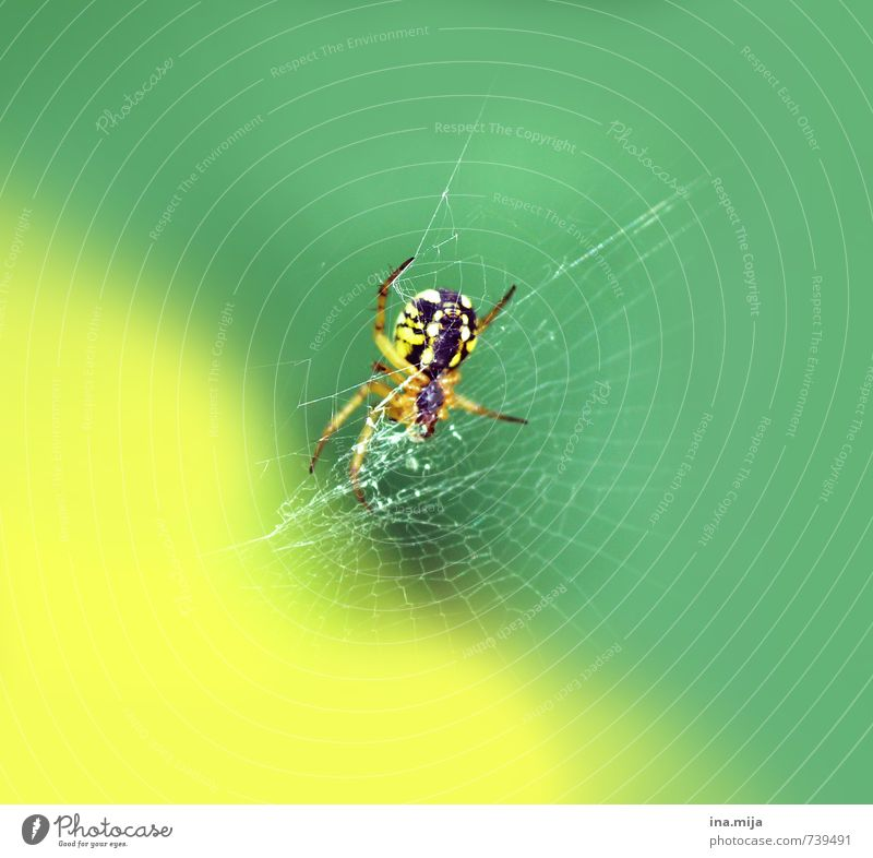izibizi spider Environment Nature Spring Summer Animal Wild animal Spider 1 Exotic Green Yellow Spider's web Spider legs Insect Poison Disgust Small Spin