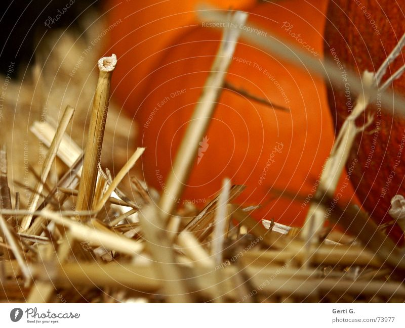 the last straw Straw Vertical Bale of straw Pumpkin seed Hallowe'en Decoration Nutrition Food Feed Agriculture Farm Pumpkin soup Blade of grass prick Vegetable