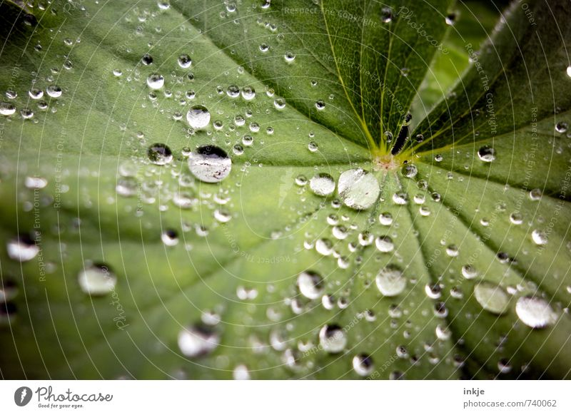 drops of women's mantle: almost like rapeseed Nature Drops of water Weather Rain Plant Leaf Alchemilla leaves Alchemilla vulgaris Fresh Near Wet Natural Round