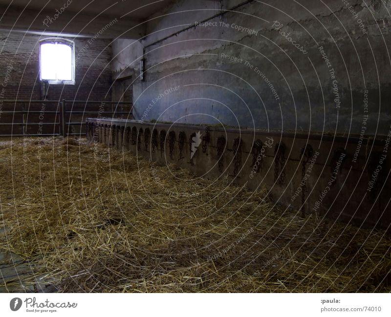 Gloomy Munich Chain Penitentiary Straw Bull Barn Cattle Slaughterhouse