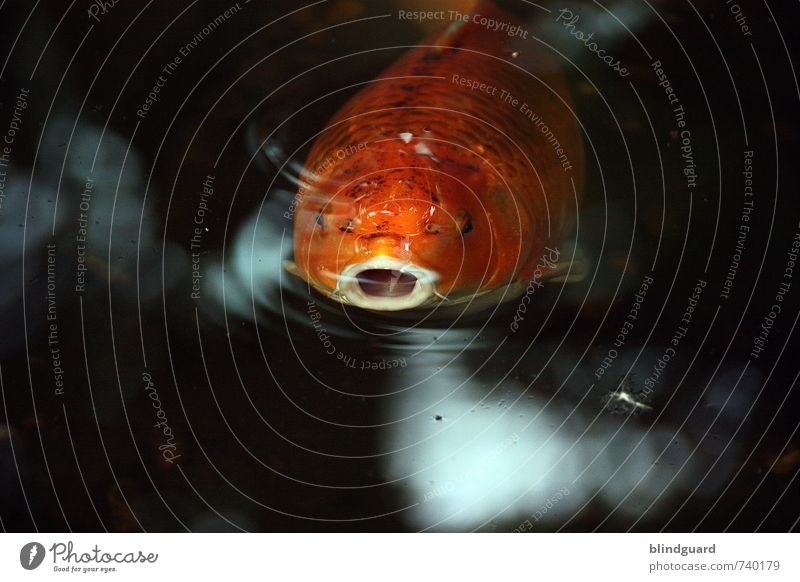 Mr. Big Mouth. Nature Animal Water Fish Aquarium 1 Breathe Looking Swimming & Bathing Orange Black White Muzzle Eyes Water wings Gill Colour photo Interior shot