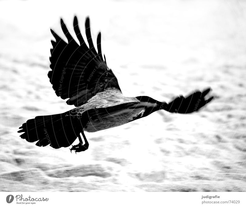 Hooded Crow Carrion crow Raven birds Bird Animal Beach Coast Ocean Swing Feather Black Gray Western Beach Black & white photo Aviation Beginning Sand Dynamics
