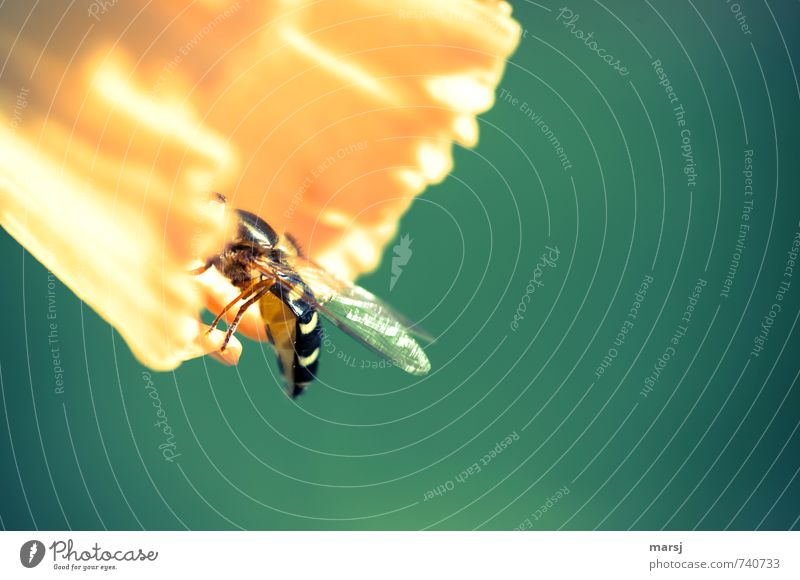 At the buffet Nectar Nutrition Nature Plant Beautiful weather Flower Blossom Narcissus Calyx Animal Wild animal Wing Hind quarters Back Hover fly 1 Eating