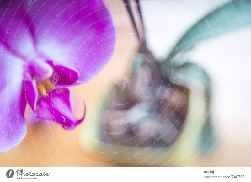In the pot Plant Orchid Blossom Pot plant Exotic phalaenopsis Blossoming Relaxation Illuminate Dream Growth Esthetic Exceptional Uniqueness Kitsch Near Trashy