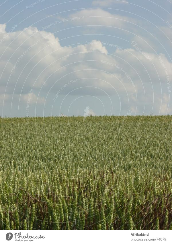 cornfield Field Clouds Wheat Grain Sky Harvest Nature Cornfield