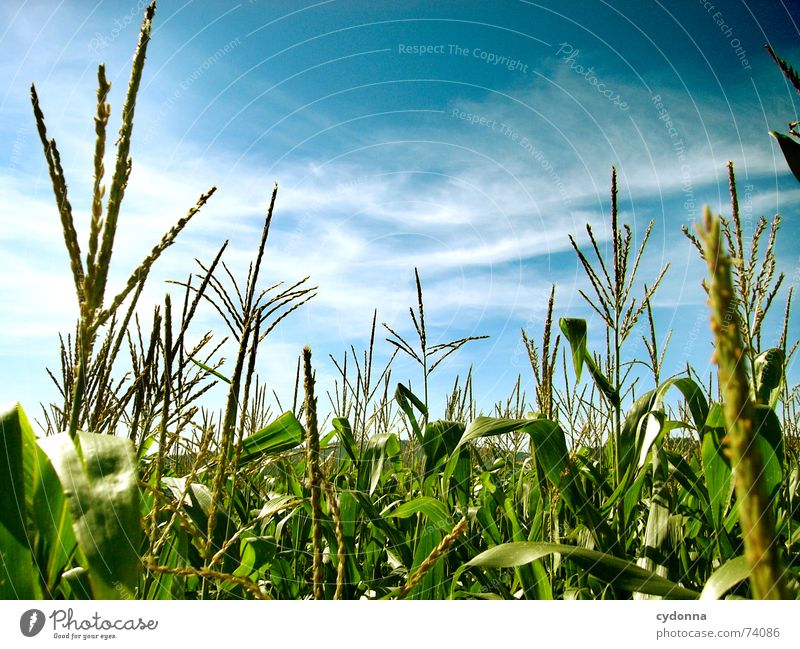 in the maize field Field Middle Beautiful Summer Moody Color gradient Air Calm Clouds Stripe Horizon Green Mature Maturing time Sky Maize Nature Far-off places