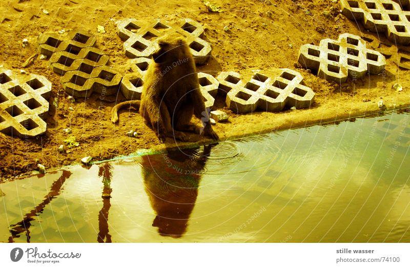 PAVIAN Monkeys Pelt Tails Loneliness Drinking Reflection Baboon Concrete Water Wash Branch Stone