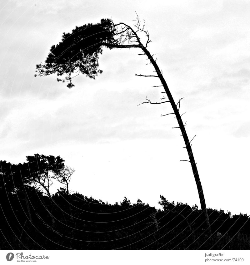 wind whisperer Wind cripple Tree Ocean Coast Beach Gale Forest Black White Fischland-Darss-Zingst Western Beach Landscape