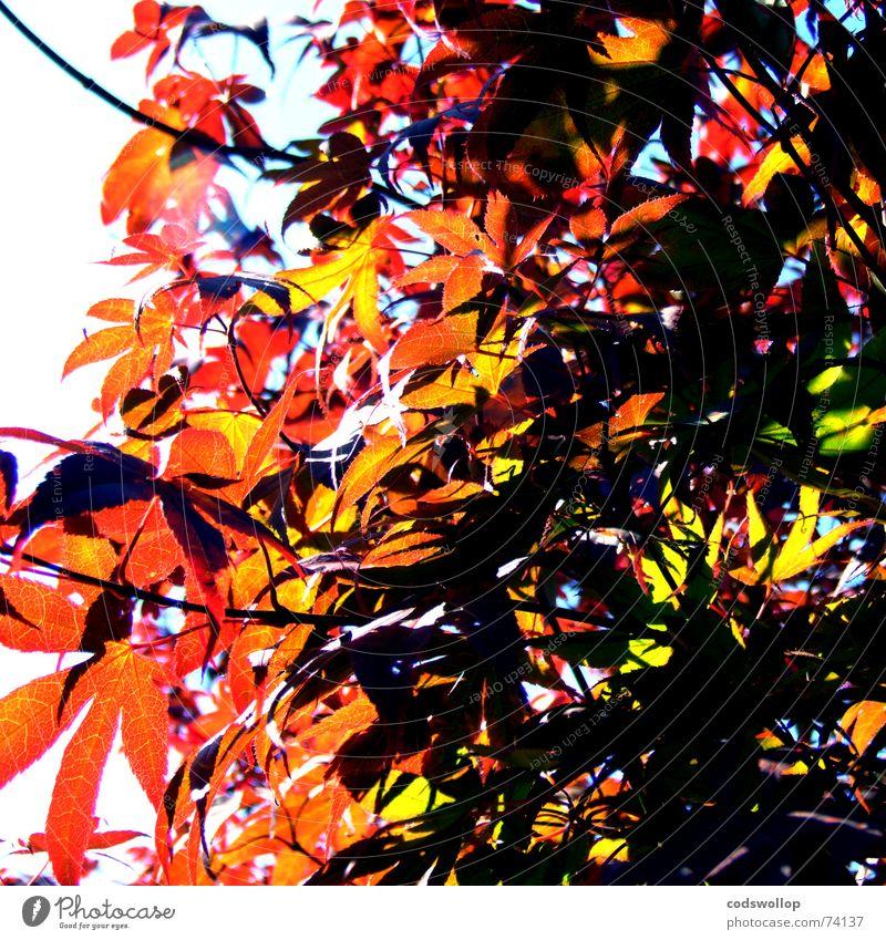 Tree Sun Green Red Summer Colour Autumn Branch