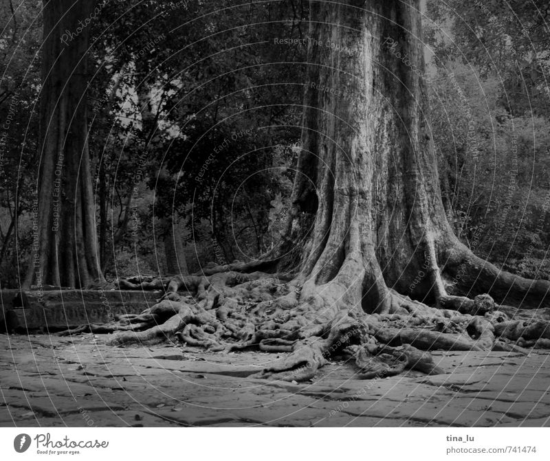 Angkor Tree Exotic Angkor Wat Cambodia Ruin Temple Monument Breathe Root Virgin forest Overgrown Disperse Old Past Wisdom Buddhism Monarchy King Palace