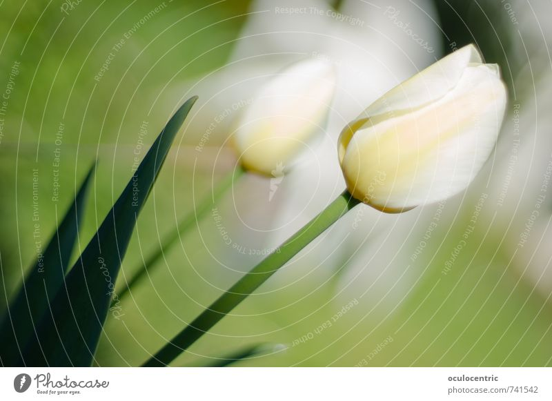 Tuliciousness Nature Plant Flower Tulip Blossom Blossoming Fragrance Leaf Garden Growth Esthetic Beautiful Happiness White Green Spring Summer Sunbeam Warmth
