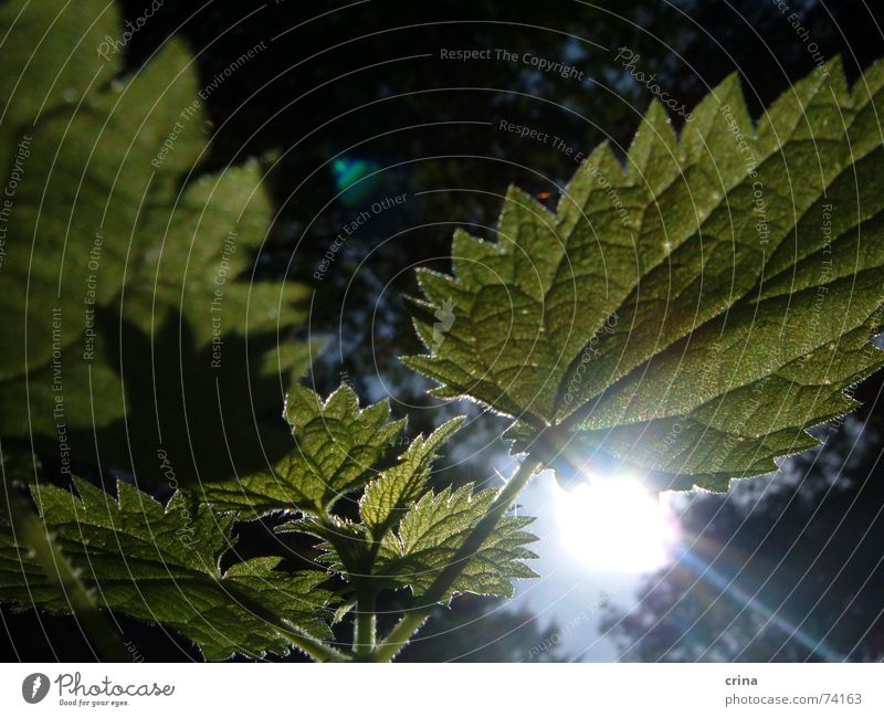 Sun in the forest Stinging nettle Forest Green Light Plant Burn Lighting Prongs Weed