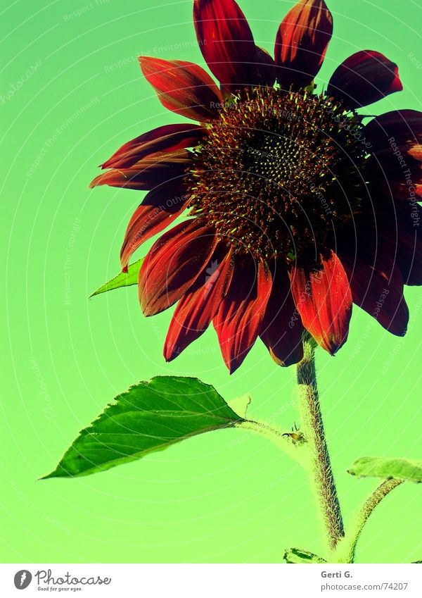 Nature Green Plant Red Blossom Food Crazy Sunflower Sunflower oil