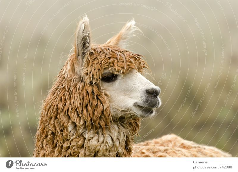 Alpaca Vacation & Travel Animal Mountain Happiness Observe Cute Friendliness Curiosity Serene Near Animal face Listening Stress Self-confident Pride Interest