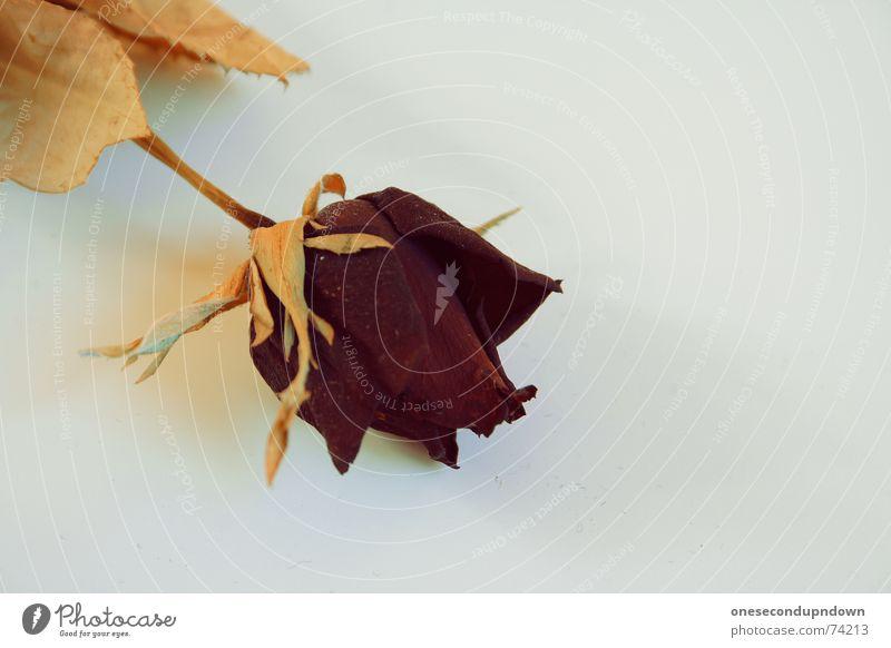 Old Leaf Blossom Rose Stalk Shriveled Dried Limp Quality Faded Flower stem