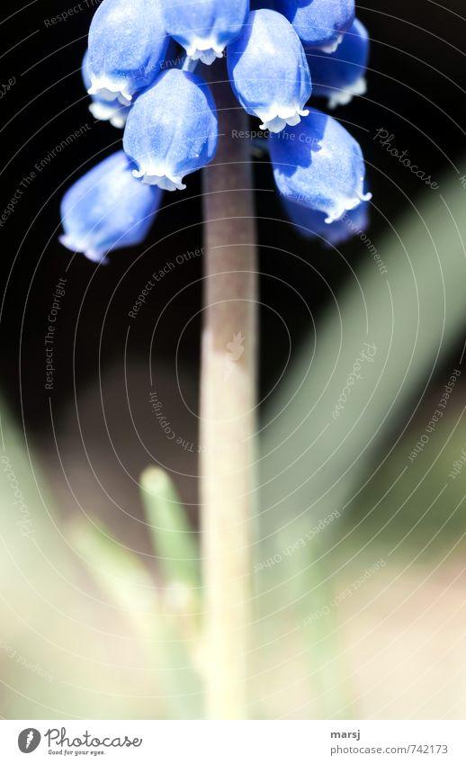 Plant Blue Flower Life Sadness Blossom Spring Small Garden Dream Illuminate Fresh Power Blossoming Simple Uniqueness