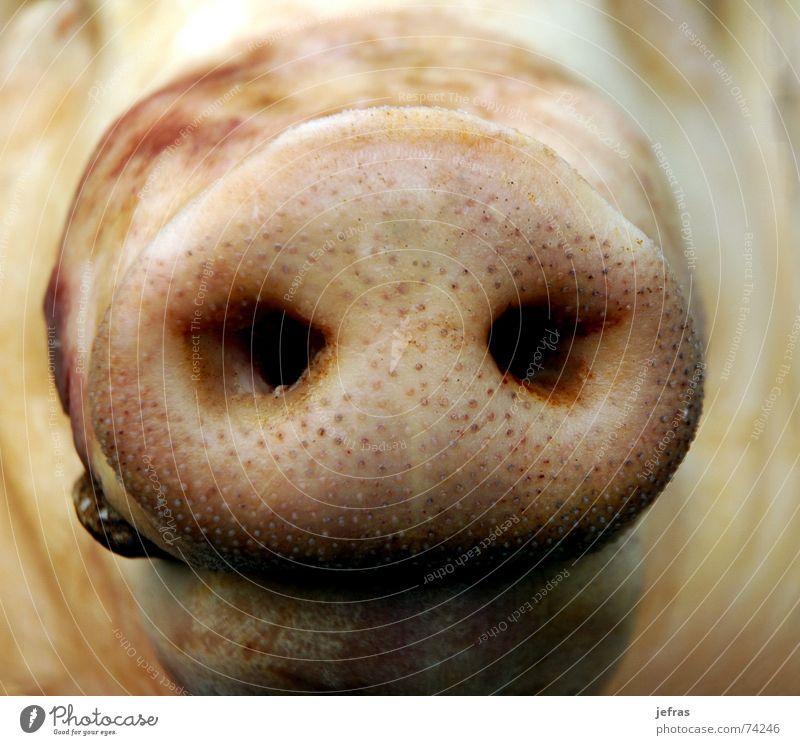 snout Close-up Nutrition Macro (Extreme close-up) animal bacon Detail face fat meat nose pig pork