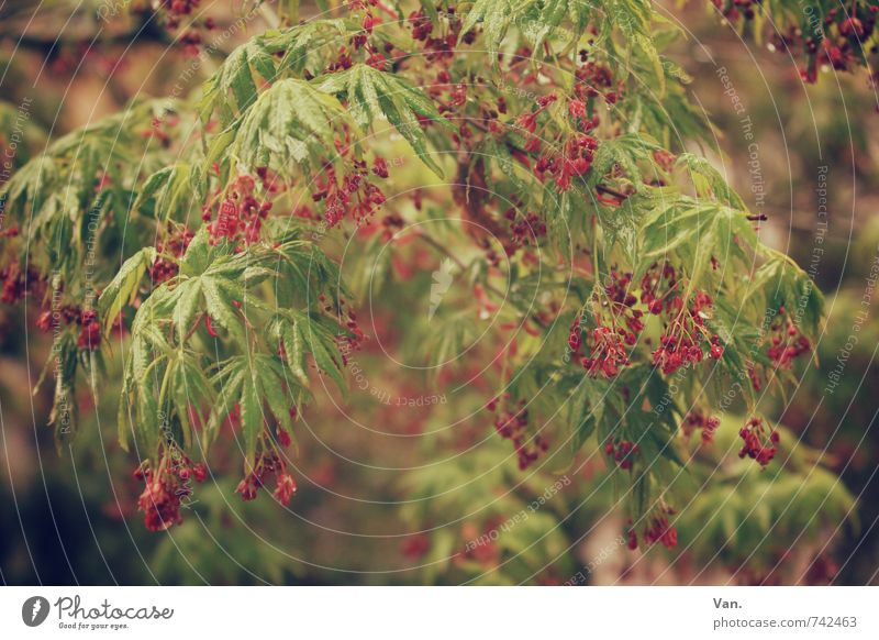 early summer Nature Plant Spring Tree Bushes Leaf Foliage plant Fruit Garden Hang Green Red Colour photo Subdued colour Exterior shot Close-up Deserted Day