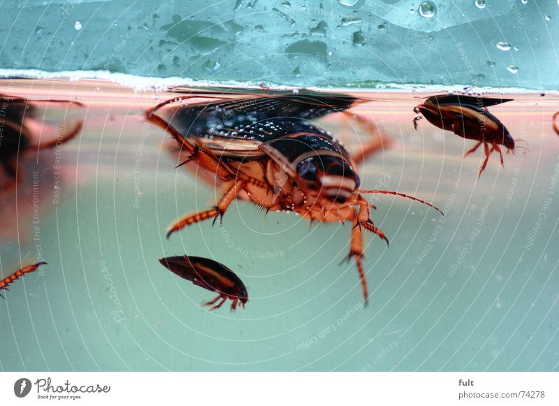 Water Dive Pond Beetle Armor-plated Pests Mang Daa-Na