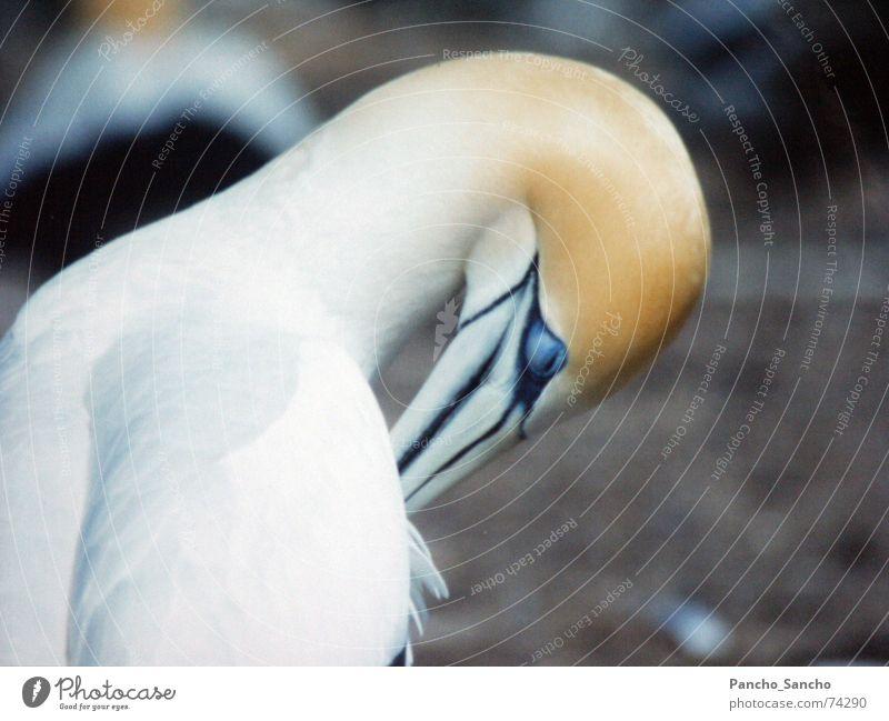 Beautiful White Blue Yellow Bird Cleaning Beak New Zealand Peaceful Boobies
