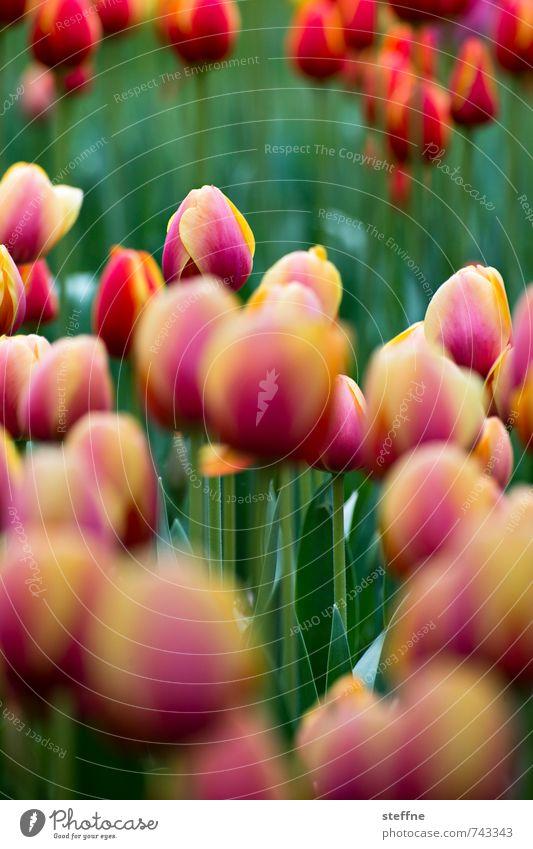 Nature Beautiful Green Red Flower Landscape Yellow Spring Garden Pink Park Tulip