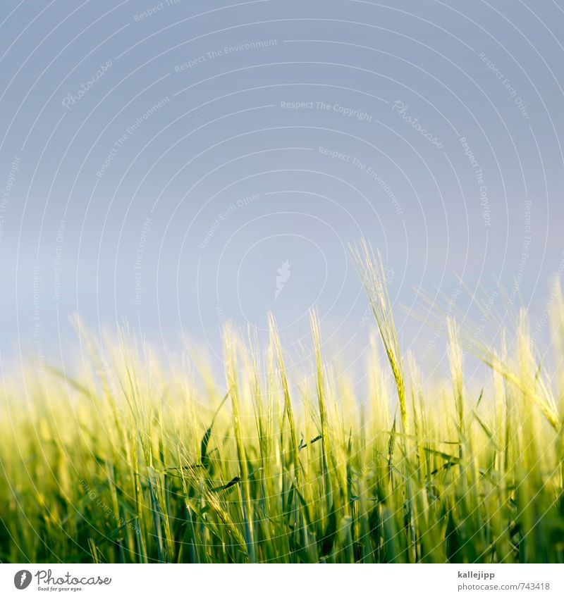 85mm Environment Nature Landscape Plant Animal Air Clouds Storm clouds Climate Weather Foliage plant Agricultural crop Field Growth Grain Wheatfield Roe Oats