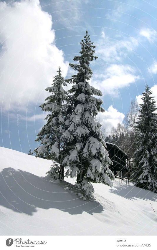 snow fir Fir tree Tree Winter Snow Mountain