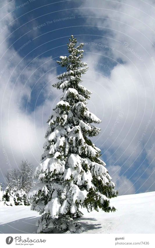 Tree Winter Snow Mountain Fir tree Individual