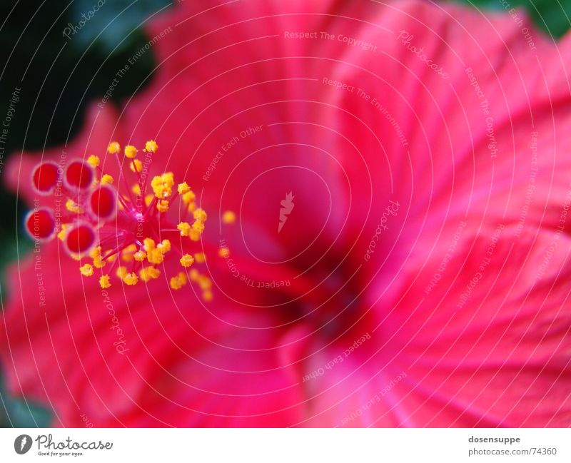 Pretty in pink Pink Red Flower Hibiscus Hawaii Blossom Beautiful Near Calm magnum Pistil Pollen Macro (Extreme close-up) Close-up Blossoming Calyx space