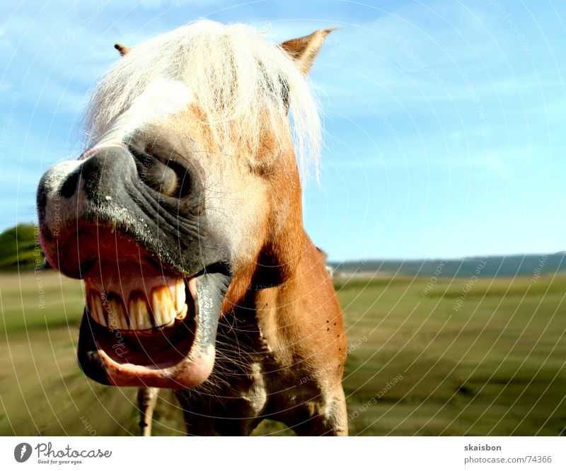 Joy Animal Meadow Laughter Funny Leisure and hobbies Humor Crazy Cool (slang) Horse Near Set of teeth Pasture Scream Tilt Pet
