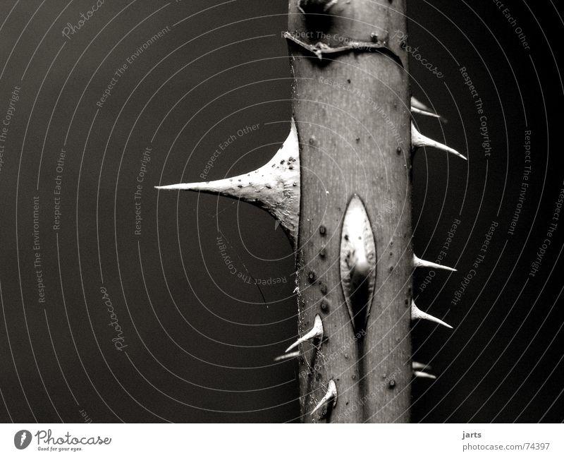 Dangerous Rose Point Pain Thorn Black & white photo