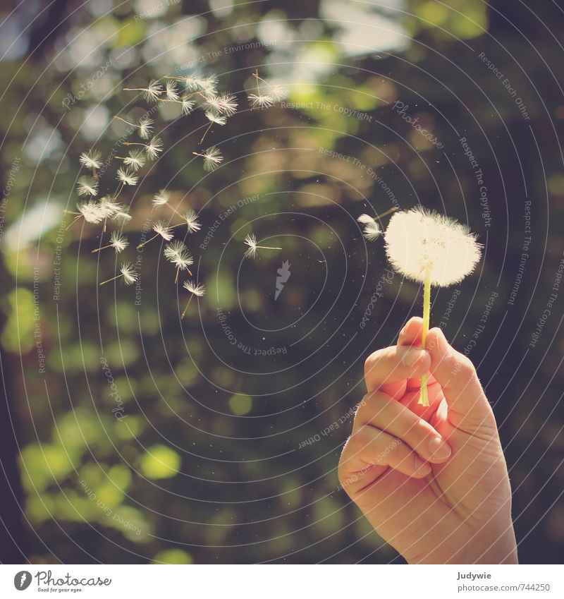 The journey begins Allergy Harmonious Summer Sun Hand Fingers Environment Nature Plant Spring Beautiful weather Bushes Dandelion Garden Park Meadow Flying