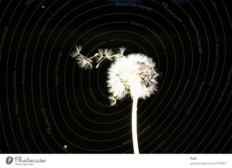 pusteblume3 Dandelion Blow Calm Swing Black White Macro (Extreme close-up) Flying Wind Contrast Dynamics