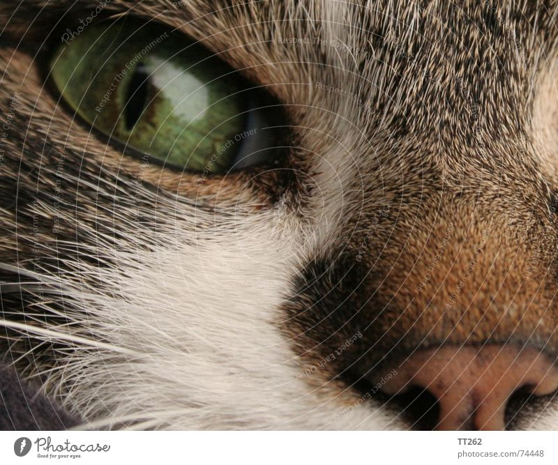 "Cat - ""Catcher"" Pelt Near Cat eyes Hair and hairstyles Eyes cat's nose Domestic cat Trust"