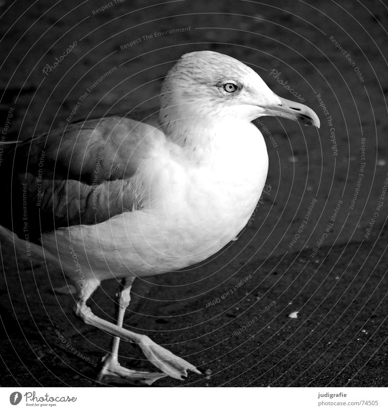 Silver Gull Lake Silvery gull Seagull Bird Feather Beak Beach Ocean Coast Black & white photo Sand Baltic Sea
