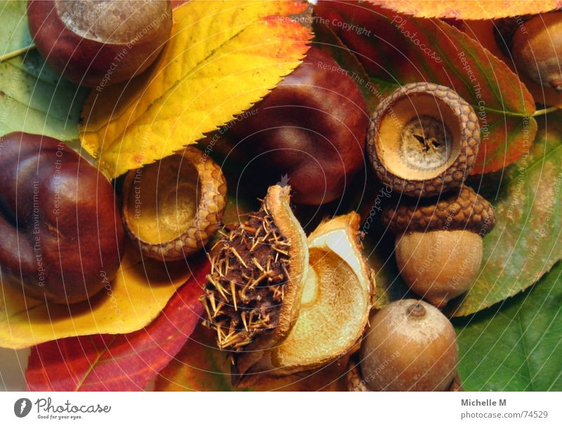 Green Red Colour Leaf Relaxation Yellow Autumn Sadness Brown Moody Floor covering Round Thorny Classification Hollow Chestnut tree
