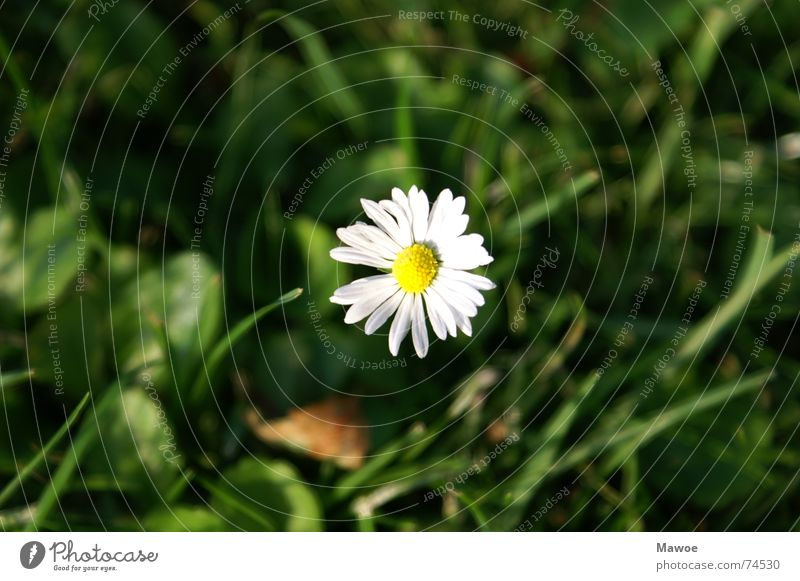 Flower Loneliness Calm Meadow Garden Power Peace Daisy Harmonious Clearing