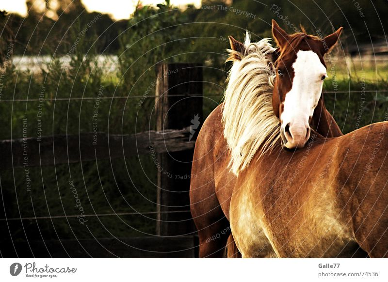 inseparable Horse Mane Meadow Summer Haflinger Friendship Goodbye Safety (feeling of) Affection Together Friendliness Back Pasture Hair and hairstyles paint