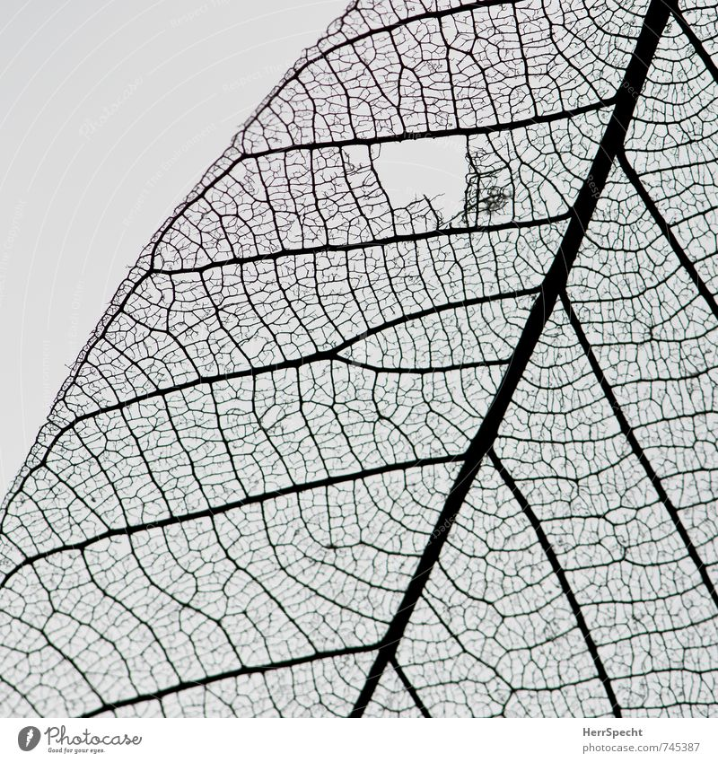 Beautiful Leaf Small Esthetic Broken Cloth Dry Delicate Transparent Hollow Wound Foliage plant Rachis Diminutive Translucent Leaf filament