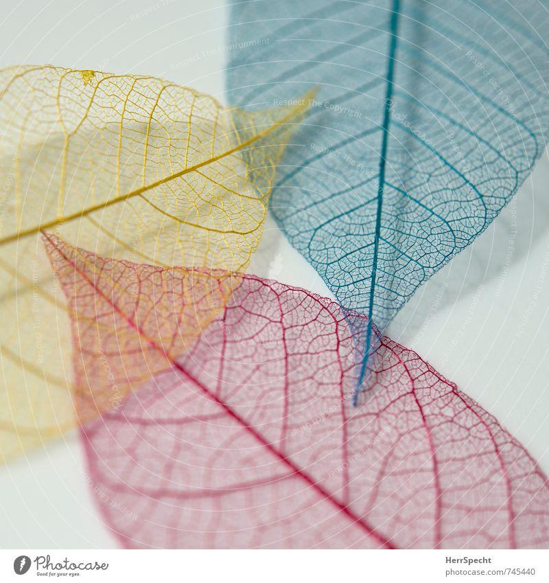 tri color Leaf Blue Yellow Red Translucent Transparent Rachis Leaf filament Colour Diminutive Decoration 3 Together Colour photo Interior shot Close-up Detail