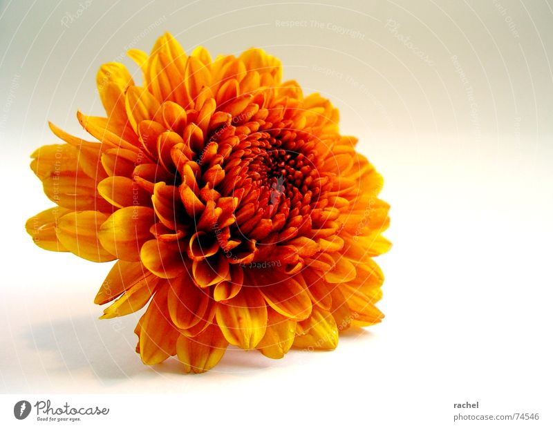 AutumnGold Chrysanthemum Headless Flower Blossom Plant Fresh Simple Friendliness Multicoloured Happiness Beautiful Incandescent Brilliant October September