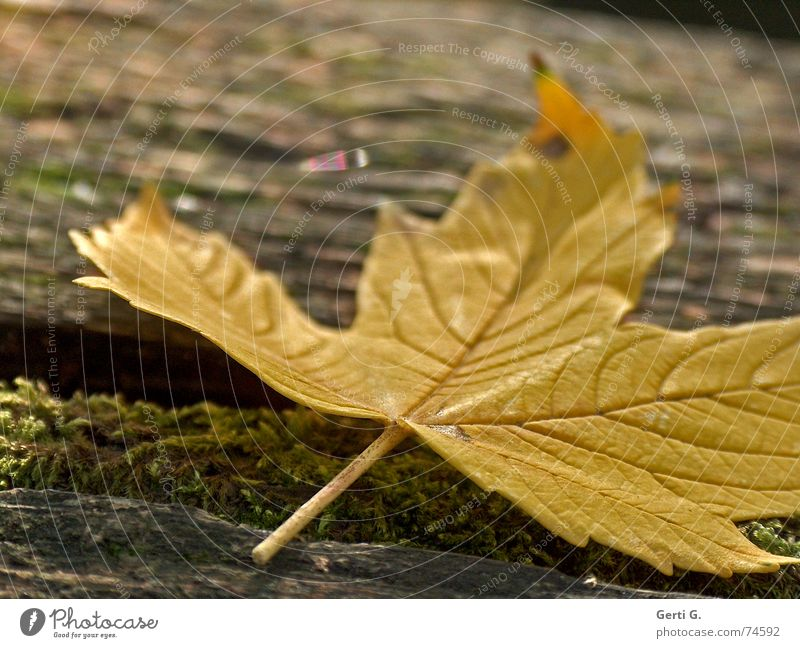 score Leaf Autumn Sudden fall Crash Lie Flat Yellow Autumnal colours Seasons Tree Trash there are more beautiful To fall Like on the ground Wood grain