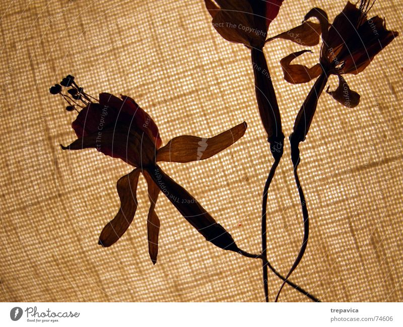 blossom Flower Dry Physics Delicate Light 3 Brown Autumn Dried flower Plant Blossom Transparent Warmth Silhouette