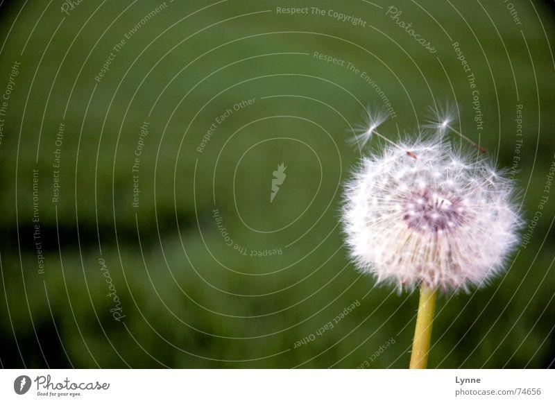White Flower Green Summer Meadow Field Wind Soft Stalk Dandelion Smooth
