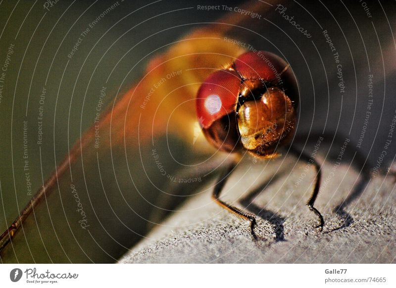 Eyes Flying Wing Insect Feeler Independence Dragonfly Bristles Compound eye