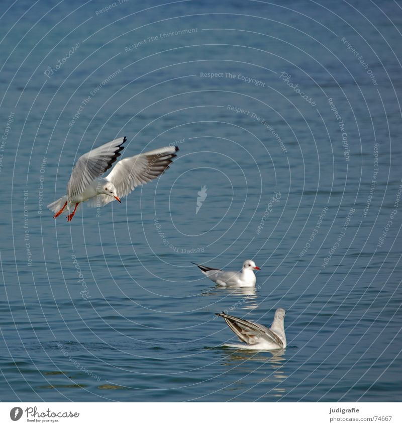 Three seagulls Lake 3 Seagull Bird Feather Ocean Animal Black-headed gull  Flying Aviation Beginning Wing Water Baltic Sea Float in the water Swimming & Bathing