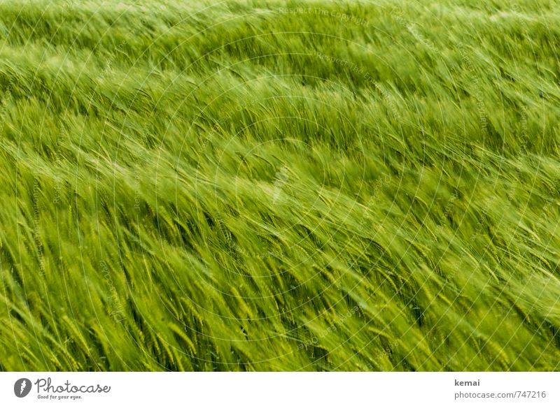 the wind that shakes the barley Environment Nature Spring Beautiful weather Plant Agricultural crop Barley Barleyfield Field Friendliness Fresh Juicy Green Wind